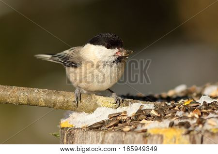 hungry coal tit eating lard at garden bird feeder ( Periparus ater )
