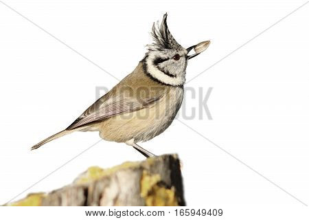 crested tit eating seed ( Lophophanes cristatus ) isolation over white background