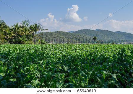 Tobacco Plantation