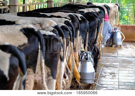 The milkmaid in farm by milking machine