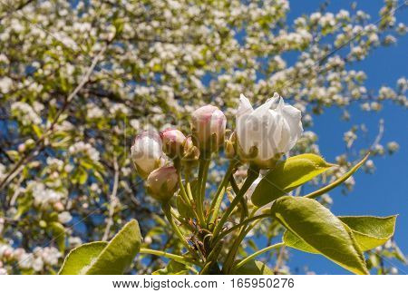 Close-up buds and drop-down flower of apple tree on blue sky background in spring.