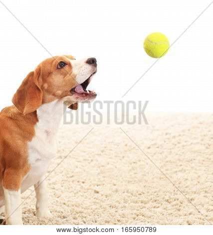 Dog catches ball on white background. Beagle play inside with tennis ball. Background with playing dog.