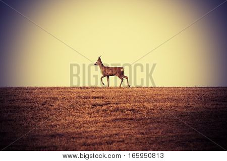 roebuck walking on faded meadow at horizon ( Capreolus male )