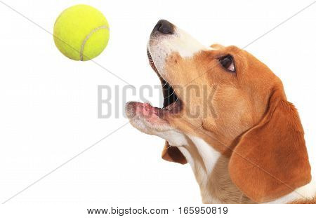 Close up of dog playing with ball. Beagle catches tennis ball isolated on white background. Beagle dog catch ball closeup.