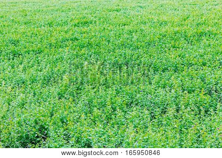 Meadow with green grass and wild flowers
