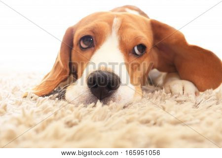 Sad dog on floor with big open eyes. Sick beagle  on carpet. Soft focus of dog with big ears on white background.