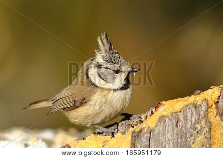 tiny european crested tit at lard feeder ( Lophophanes cristatus ).; in winter season garden birds are eating lard if you out it outside