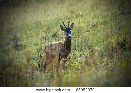 wild roe deer buck on meadow ( Capreolus )