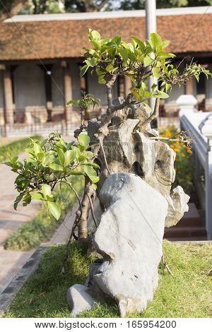 Bonsai of Ficus trees bonsai are classic elements of interior and landscape design