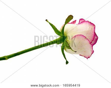 Delicate flower rose isolated on white background