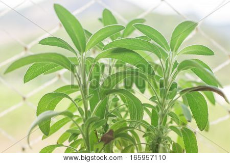 Salvia officinalis. Sage garden sage or common sage
