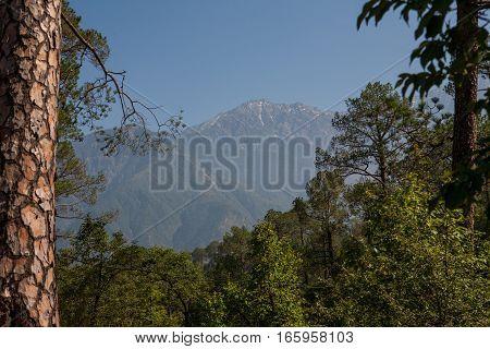 DHARAMSALA, INDIA. 2 Jun 2009:  Himalayan pine trees and mountains in Dharamsala. McLeod Ganj, Western Himalayas, Himachal Pradesh, district of Kangra.