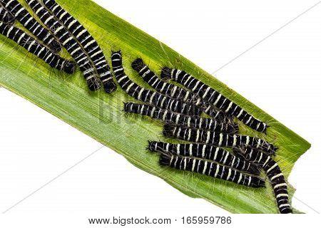 Common Duffer Caterpillars