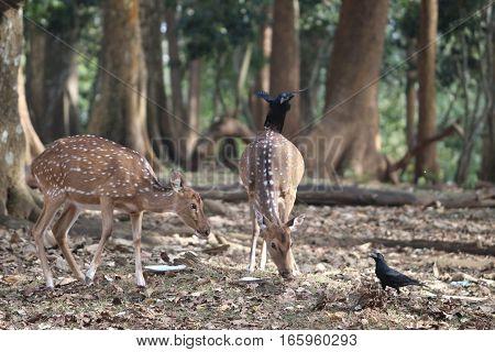 Anxious deer and authoritative deer looking for their food