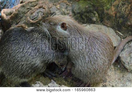 Two cute coypu (nutria river rats) kissing