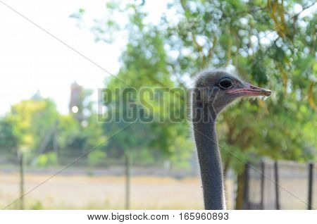 Portrait of a funny cute ostrich emu bird