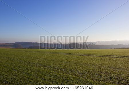 a green wheat crop with scenic hills and hedgerows on a frosty misty morning in winter in a yorkshire wolds landscape under a clear blue sky