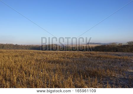 dry and frosty pheasant cover with woods hills and hedgerows in a yorkshire wolds hunting landscape under a clear blue sky on a cold winter morning