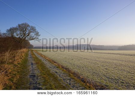 a frosty wheat crop beside a footpath and woodland in a yorkshire wolds landscape under a clear blue sky in winter
