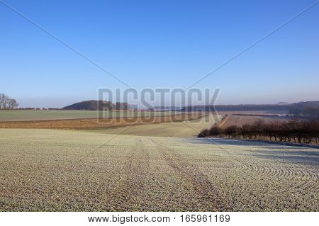 frost covered wheat crop in a scenic yorkshire wolds agricultural landscape with woods and hedgerows under a clear blue sky in winter