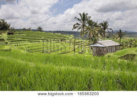 hut in rice fields in Ubud Bali Indonesia