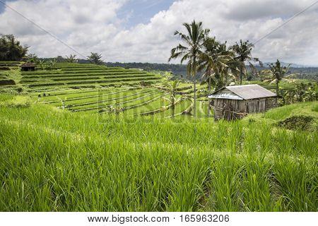 hut in rice fields in Ubud, Bali, Indonesia