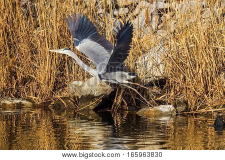 Gray Heron (ardea Cinerea) Is A Wading Bird In The Heron Family Ardeidae