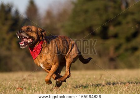 Happy Pet Dog Running With Bandana