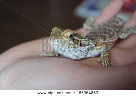 Close-Up of a lizard on a man's hand