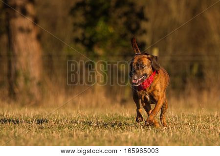 Happy dog running in Park With Bandana