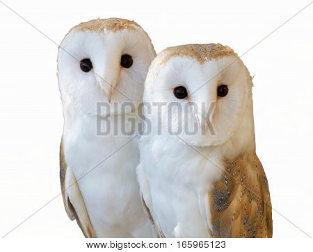 isolated and cute couple of owls friends