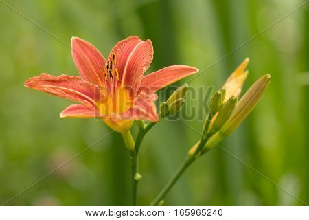 Blooming daylily flower and inflorescence with the Bud