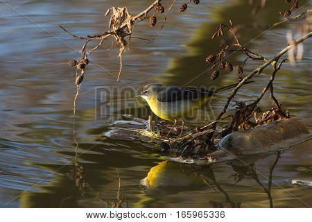 Grey Wagtail (motacilla Cinerea) With Reflections