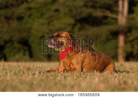 Happy Pet Dog Laying Down Smiling With Bandana