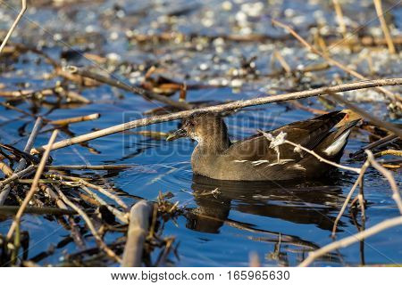 The Common Moorhen (gallinula Chloropus) Also Known As The Swamp Chicken