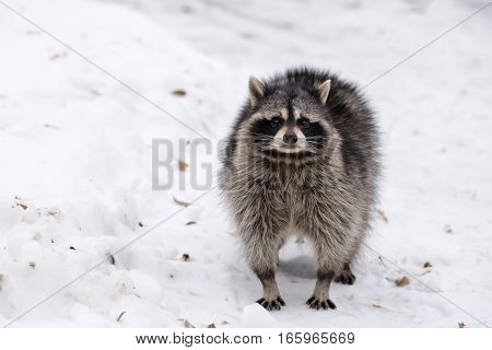 One fluffy raccoon walks on the white snow in winter frosty day