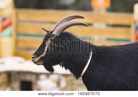 Black young goat with a beard standing in a profile