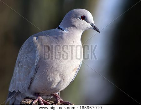 Collared Dove (Streptopelia decaocto) a useful garden birds.