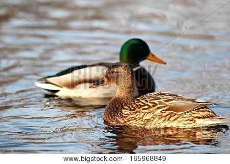 Beautiful Portrait Of A Mallard In Water On A Background Of A Drake