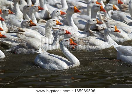 Many White Geese Swimming In The Water