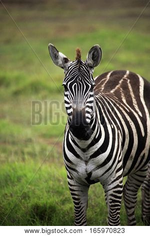 Zebra On Savanna