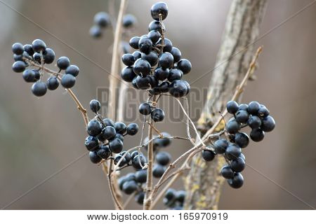 In the fall black privet berries in the bushes.