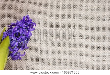 festive background of blue beautiful flower of hyacinth on fabric of flax