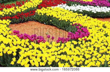 Colourful beautiful tulips in the spring garden