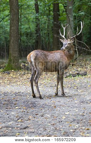 Beautiful Portrait Of A Male Deer In The Forest In A Full-length Looking Away