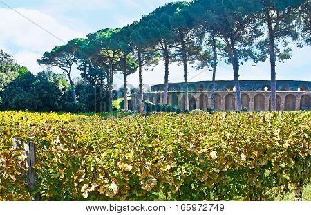 The Vines In Pompeii