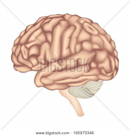 Brain-anatomy-1