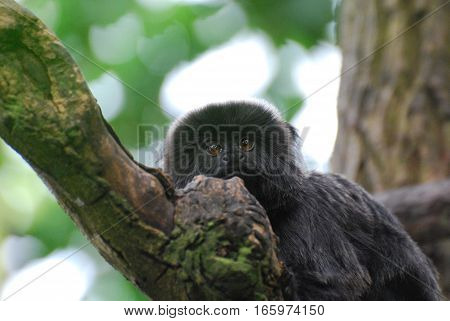 Up close with goeldi's marmoset in a tree.
