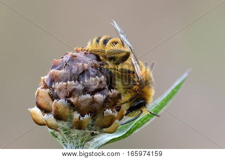 Wild bee sleeping on the buds of plants