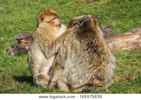 Barbary Macaque or Monkey at the Grooming